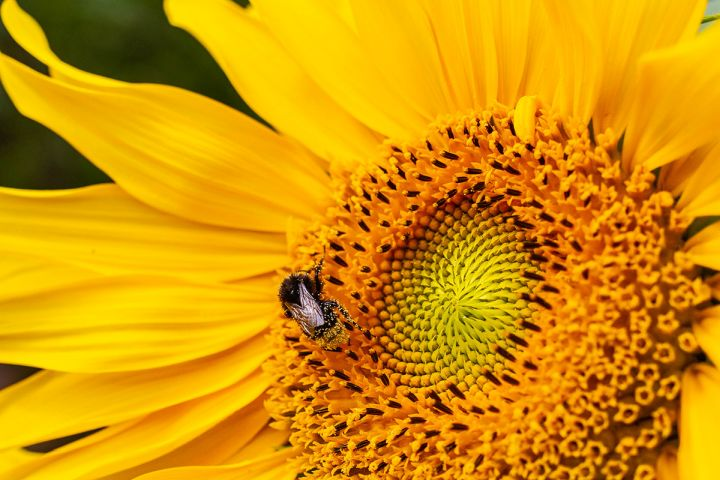 Pollenjäger, Foto: Frerk-Peter Werth